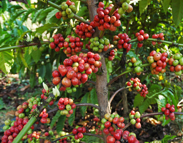 One Way Valve Coffee Cherry
